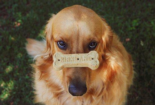 Golden Retriever, Dog, Puppy, Retriever, Animal, Cute