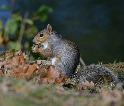 Squirrel, Nature, Chipmunk, Rodent, Wildlife, Grey