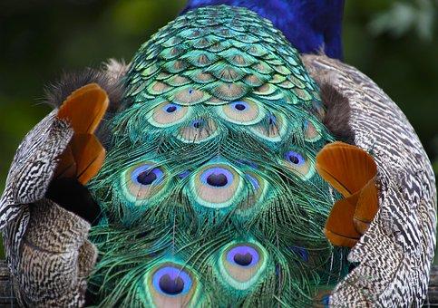 Peacock, Feathers, Pattern, Plumage, Animal, Iridescent