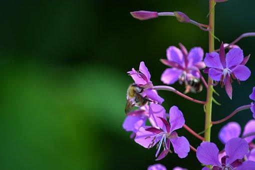Flowers, Bumblebee, Hummel, Bee, Garden, Nature, Insect