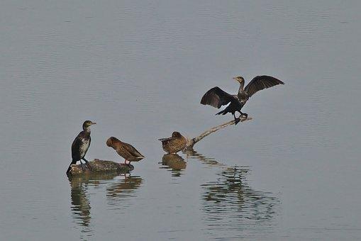 Cormorant, Wing, Water, Duck, Wildfowl, Water Bird