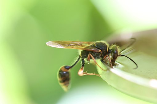 Tomb Wasp, Insect, Wasp, Spheciformes, Drink