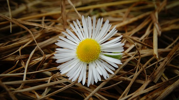 Flower, Daisy, Hay, Plant, Dry Grass, Petals