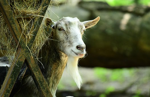 Goat, Animal, Hay, Farm