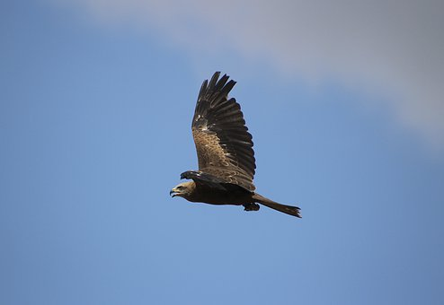 Buzzard, Eagle, Wings, Feathers, Plumage, Flight