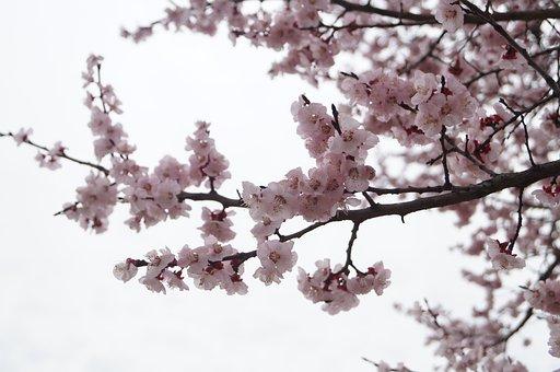 Flower, Sakura, Cherry Blossom, Tree, Branches, Nature