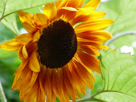 Flower, Sunflower, Leaves, Petals, Foliage, Yellow