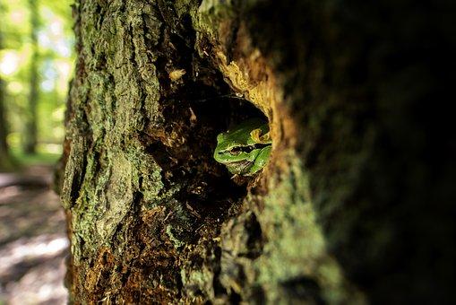 Tree Frog, Forest, Woods, Hidden, Frog, Nature, Tree