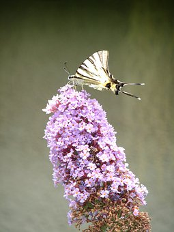 Butterfly, Flower, Plant, Insect