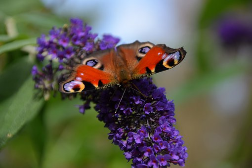 Lilac, Butterfly, Summer Lilac, Summer, Nature, Insect