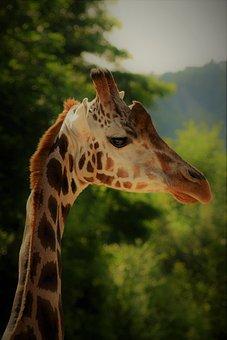 Giraffe, Safari, Animal, Mammal, Africa