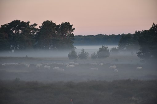 Mist, Morning, Sheep, Sunrise, Heide