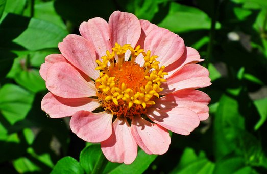 Flower, Zinnia, Plant, Garden, Colored, Summer, Nature