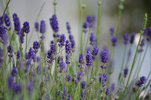 Field, Meadow, Lavender, Bush, Nature, Flower, Flora