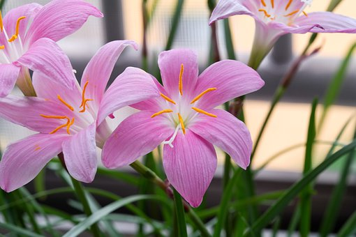 Flowers, Lilly, Petals, Pink, Plant