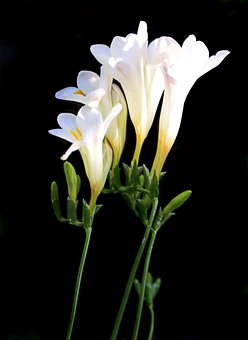 Flowers, White, Fragrant, Freesias, Bulbs, Plants