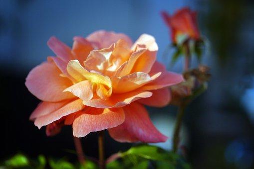Rose, Rose Bloom, Flower, Blossom, Bloom, Romantic