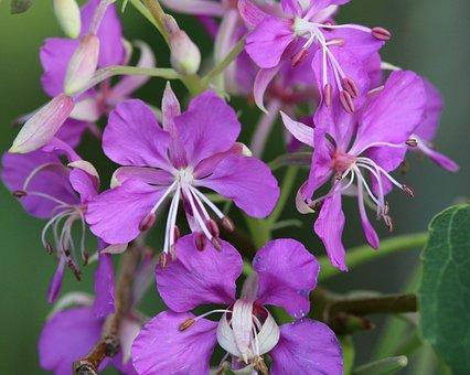 Flowers, Petals, Plants, Rosebay Willowherb