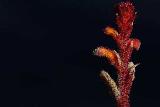Kangaroo Paw Plant, Flower Buds, Velvety, Red, Orange