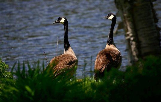 Geese, Wild Geese, Waterfowl, Environment, Biodiversity