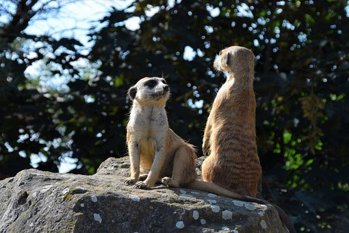 Meerkat, Animal, Zoo, Cute, Sweet, Fur