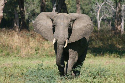 Elephant, Africa, Zimbabwe, Safari