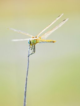 Dragonfly, Insect, Wings, Bug, Branch, Nature, Animal