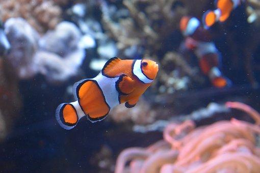 Fish, Clown Fish, Monterey, Aquarium, Orange, White