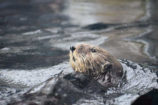 Otter, Aquatic, Sea, Sea Otter, Brown, Water, Monterey