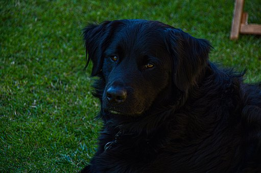 Dog, Labrador, Black, Pet, Fur, Black Dog, Animal, Face