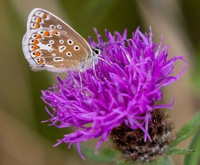 Brown Argus, Butterfly, Aricia Agestis, Thistle, Flower