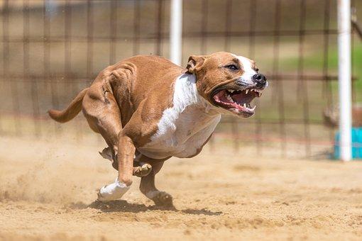 Dog, Canine, Race, Run, Running, Dog Racing