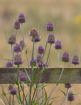Teasel, Thistle, Flowers, Weeds, Plants
