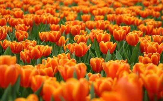 Flowers, Tulips, Field, Meadow, Petals, Leaves, Nature