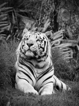 White Tiger, Cat, Tiger, Animal, Predator, Fur, White
