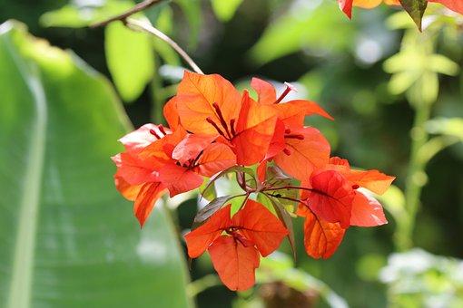 Bougainvilleas, Flower, Red, Nature, Garden, Summer
