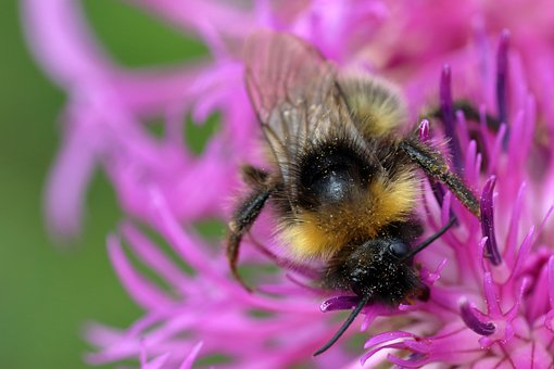 Bumble Bee, Bee, Insect, Pollination, Animal, Garden