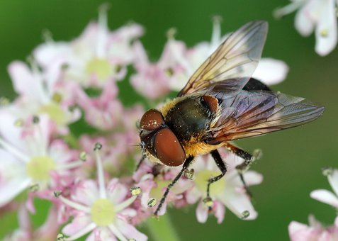 Fly, Insect, Bug, Wings, Flowers, Petals