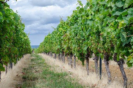 Wine, Vines, Treest, Trail, Leaves, Grass, Field