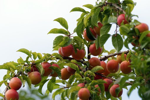 Fruits, Red, Orange, Tree, Branch, Leaves, Green