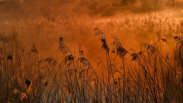 Field, Meadow, Reed, Morning, Sunrise, Nature