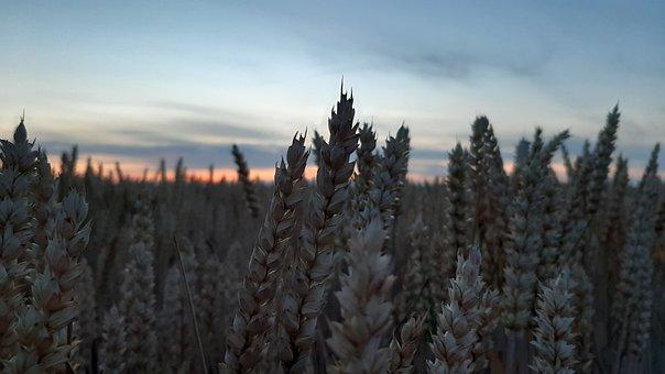 Sunset, Nature, Field, Wheat, Evening, Summer, Clouds