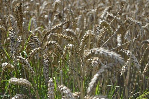 Corn, Cornfield, Agriculture, Food, Nature, Plant
