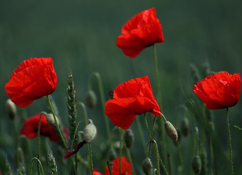 Flowers, Poppies, Field, Buds, Petals, Blooms, Nature