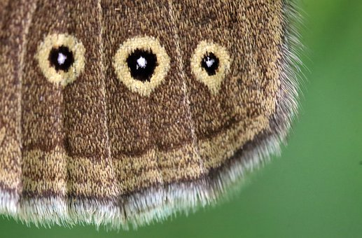 Butterfly, Ringlet, Wing, Brown, Insect