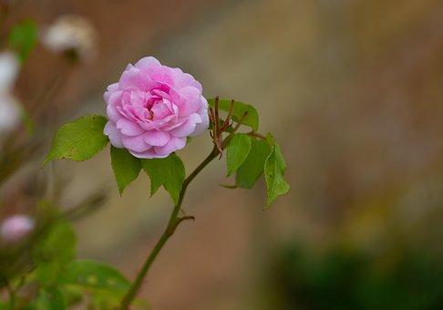 Rose, Buds, Leaves, Foliage, Stem, Pistil, Bloom