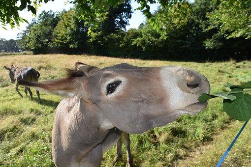 Donkey, Portrait, Head, Ruminant, Equine, Snout