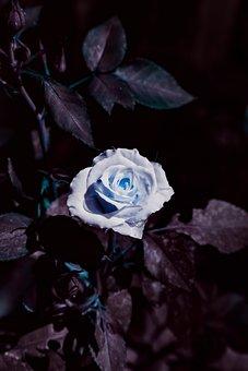 Flower, Rose, Blue, Bloom, Spring, Sunflower, Petals