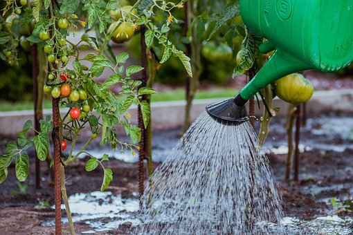 Crops, Veggitables, Tamatoes, Watering