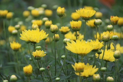 Chrysanthemum, Flowers, Blossom, Yellow, Plants, Petals
